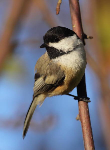 Chickadees Photograph - Black-capped Chickadee by Bruce J Robinson