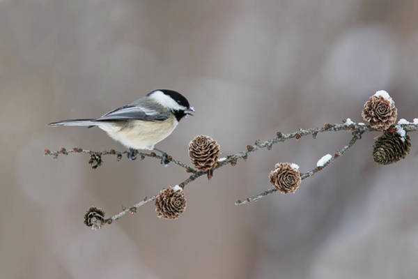 Wall Art - Photograph - Black-capped Chickadee by Mircea Costina Photography