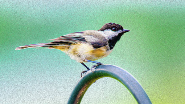 Mixed Media - Black-capped Chickadee Oil by Onyonet  Photo Studios