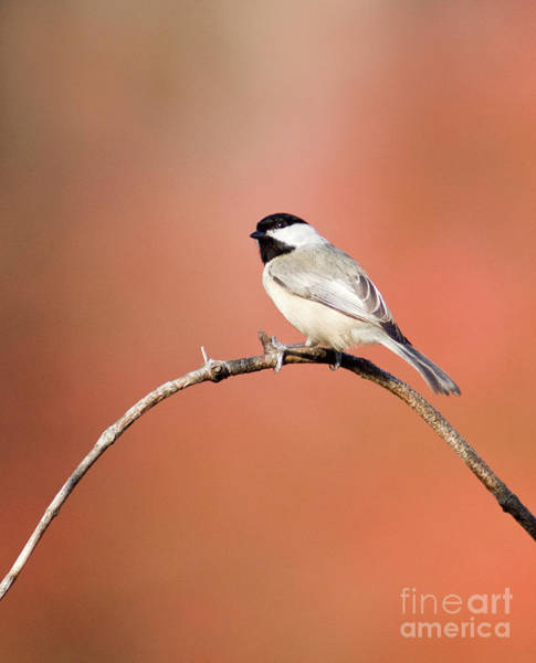 Photograph - Black Capped Chikide II by David Waldrop