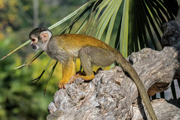 Photograph - Black-capped Squirrel Monkey by Arterra Picture Library
