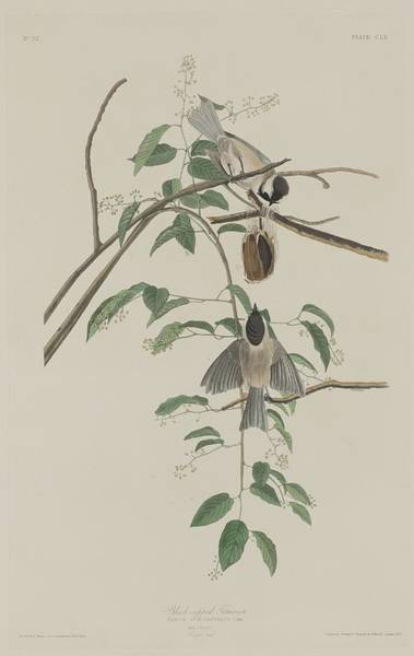 Wall Art - Drawing - Black-capped Titmouse by Dreyer Wildlife Print Collections