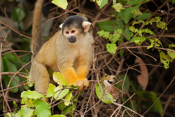 Photograph - Black-capped Yellow Squirrel Monkey In Tree by Aivar Mikko