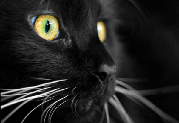 Cat Photograph - Black Cat 2 by Craig Incardone