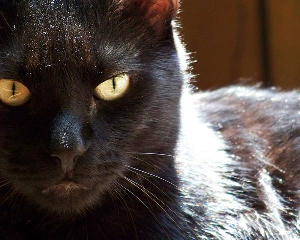 Photograph - Black Cat by Jai Johnson