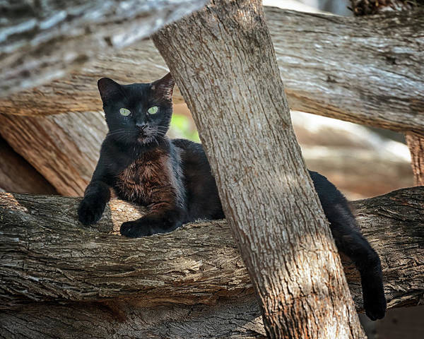 Photograph - Black Cat by Susan Rissi Tregoning