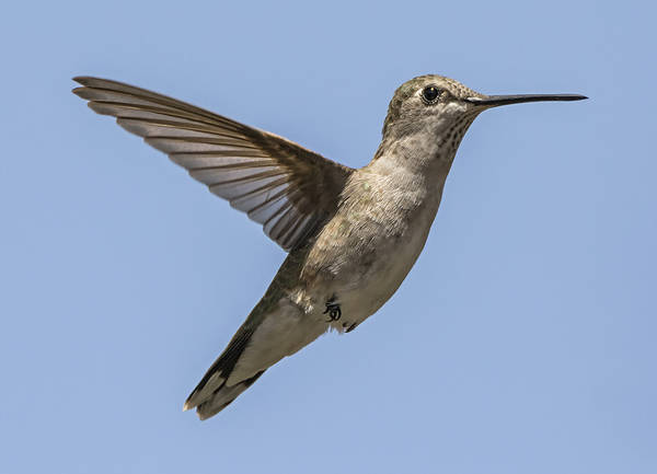 Photograph - Black-chinned Hummingbird by Loree Johnson