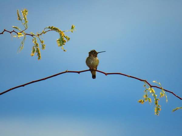 Photograph - Black-chinned Hummingbird On Mesquite by Judy Kennedy
