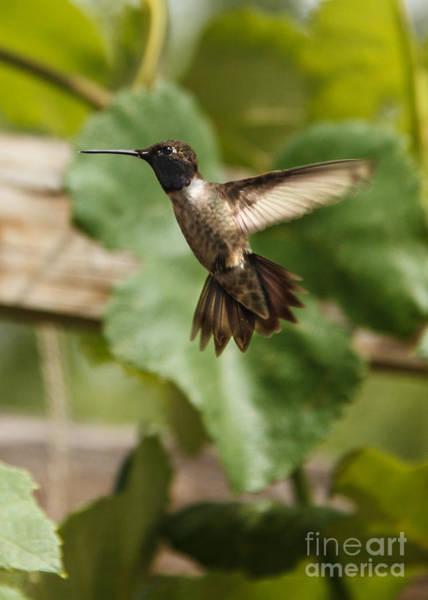 Hummingbird Feeder Photograph - Black-chinned Hummingbird by Robert Bales