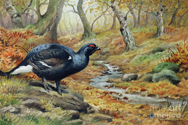 Wall Art - Painting - Black Cock Grouse By A Stream by Carl Donner