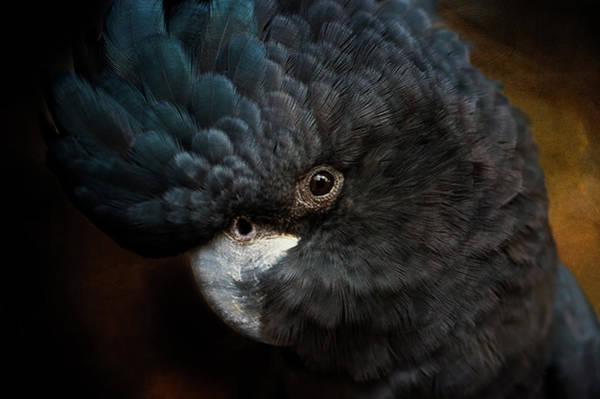 Photograph - Black Cockatoo by Diana Andersen