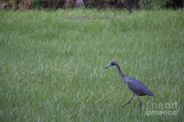 Black Wall Art - Photograph - Black Egret by Michael Rados