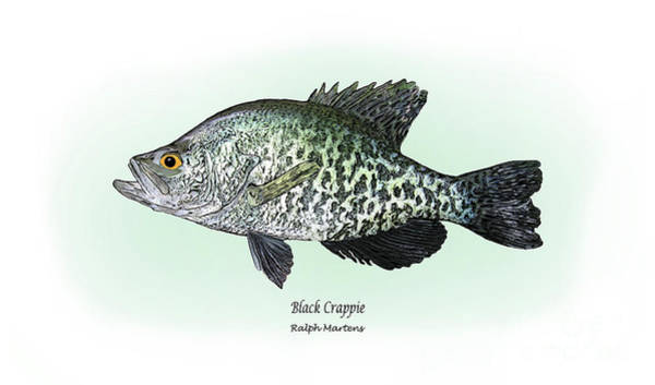 Angling Art Wall Art - Drawing - Black Crappie by Ralph Martens