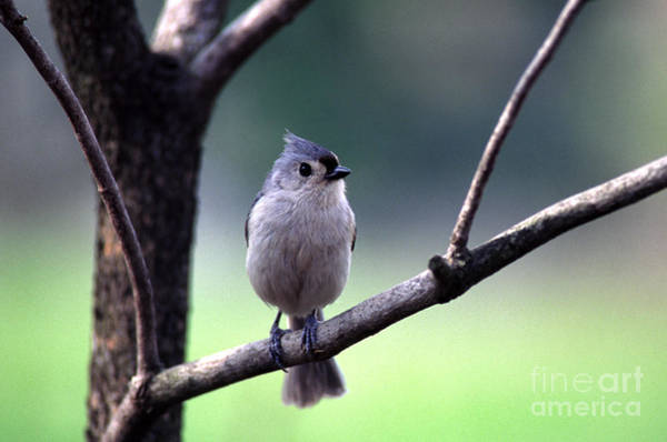 Photograph - Black-crested Titmouse  by Thomas R Fletcher