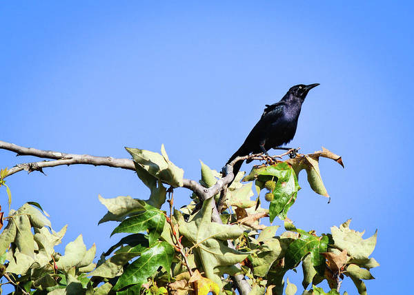 Photograph - Grackle On A Tree by Alison Frank