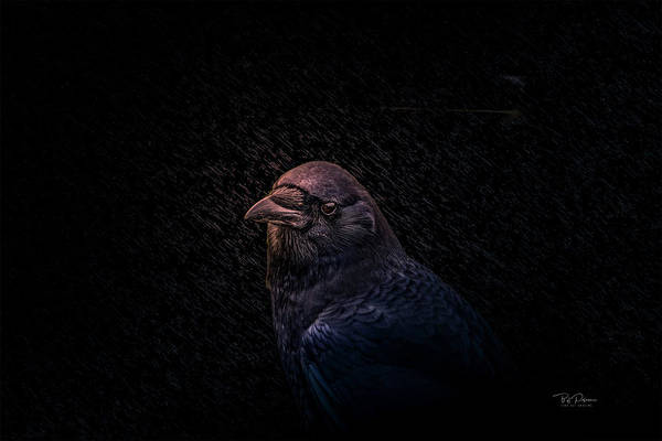 Photograph - Black Crow At Night by Bill Posner