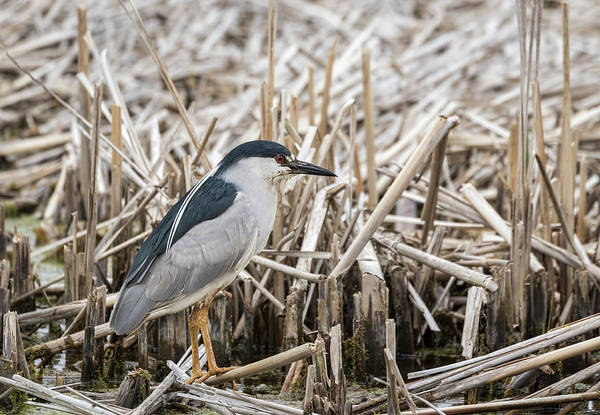 Horicon Marsh Photograph - Black-crowned Night Heron 2017-1 by Thomas Young