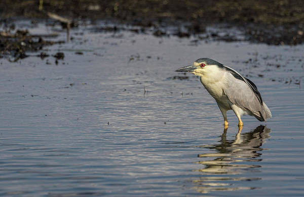 Horicon Marsh Photograph - Black-crowned Night Heron 2017-3 by Thomas Young
