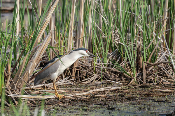 Horicon Marsh Photograph - Black-crowned Night Heron 2018-1 by Thomas Young