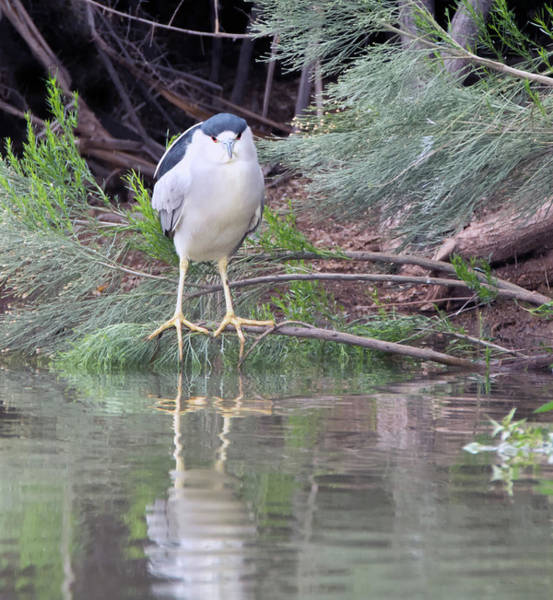 Photograph - Black-crowned Night Heron Adult 7431-021418-2cr by Tam Ryan