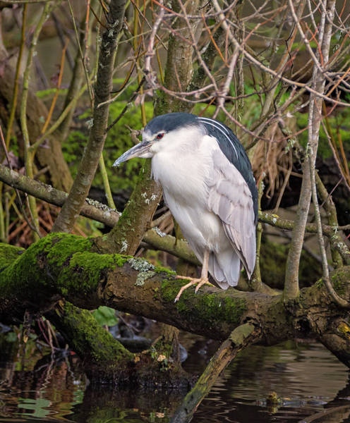 Photograph - Black Crowned Night Heron At The Pond by Loree Johnson