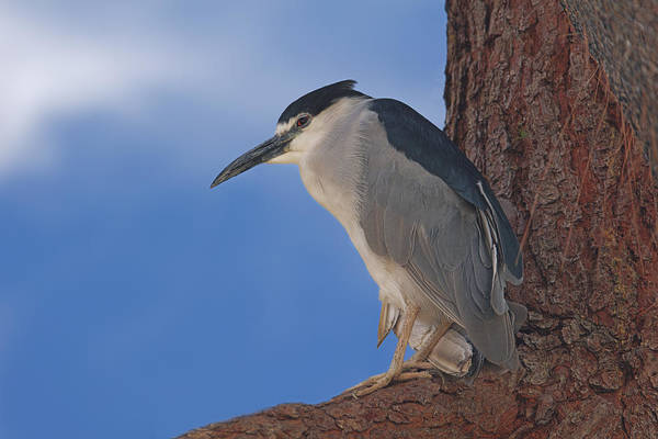 Photograph - Black-crowned Night Heron by Brian Cross