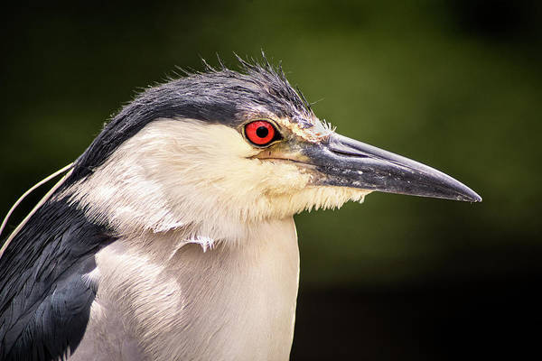 Photograph - Black Crowned Night Heron by Don Johnson