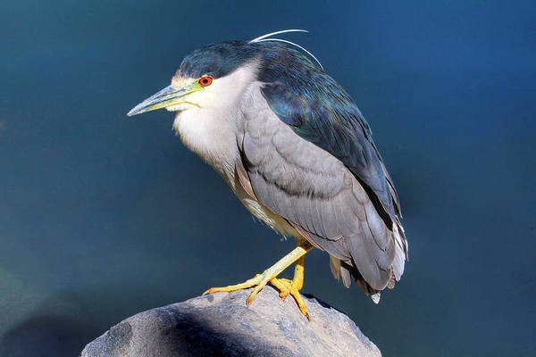 Night-heron Photograph - Black-crowned Night Heron by Donna Kennedy