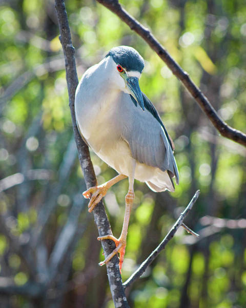 Photograph - Black-crowned Night Heron II by Dawn Currie