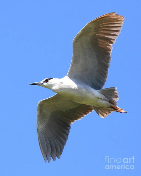Photograph - Black Crowned Night Heron In Flight . 40d7892 by Wingsdomain Art and Photography