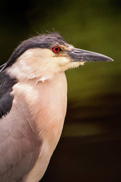 Photograph - Black Crowned Night Heron In Frederick by Don Johnson
