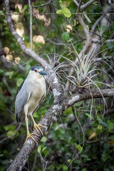 Photograph - Black Crowned Night Heron In Tree by Framing Places