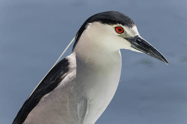 Photograph - Black-crowned Night Heron Portrait by Dawn Currie