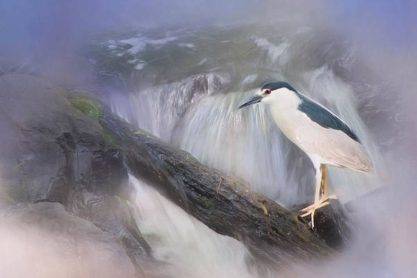 Photograph - Black Crowned Night Heron by Robin-Lee Vieira