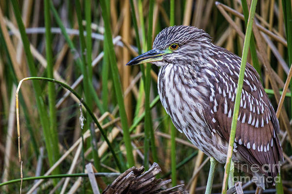 Photograph - Black-crowned Night Heron  by Vincent Bonafede