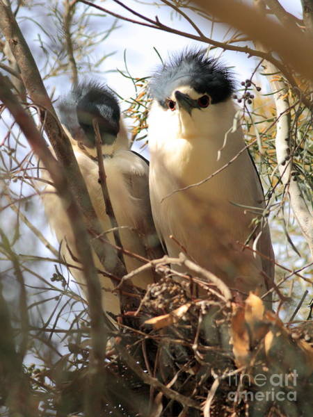 Photograph - Black Crowned Night Herons Nesting by Wingsdomain Art and Photography