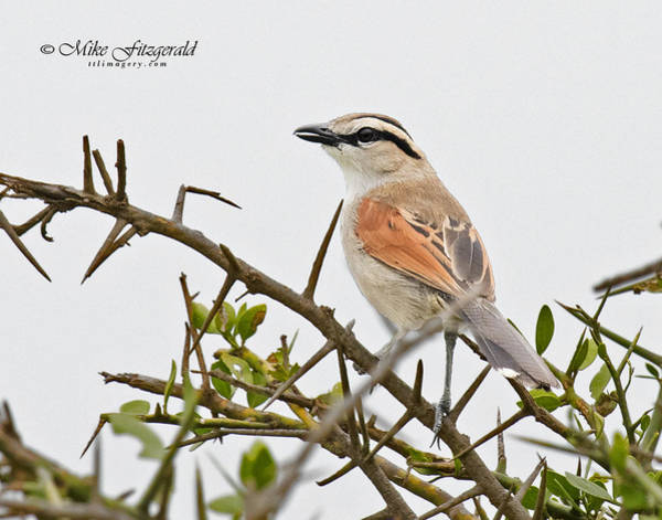 Photograph - Black-crowned Tchagra by Mike Fitzgerald
