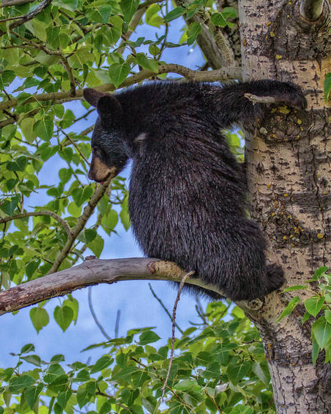 Photograph - Black Cub Up A Tree by Ronald Lutz