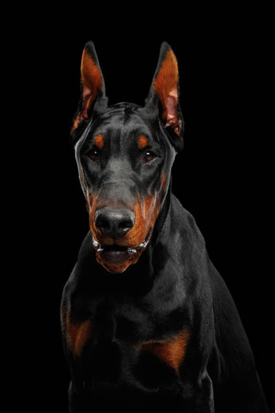 Photograph - Black Doberman by Sergey Taran
