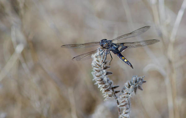 Wall Art - Photograph - Black Dragonfly by Rick Mosher
