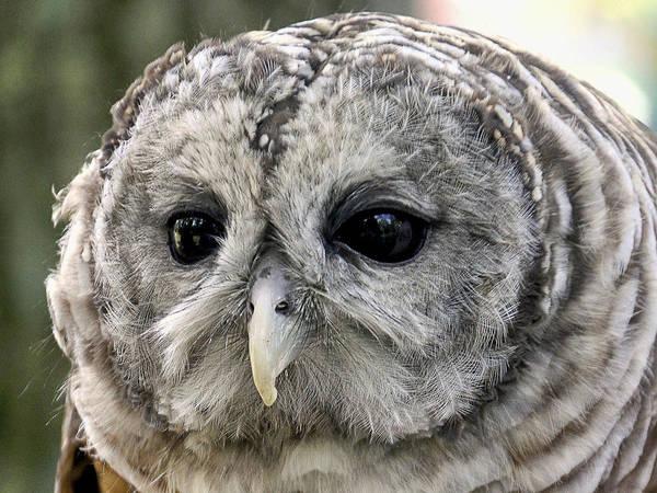 Photograph - Black Eye Owl by Bob Slitzan