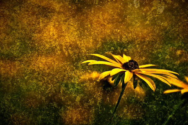 Photograph - Black-eyed Susan And Granite by  Onyonet  Photo Studios