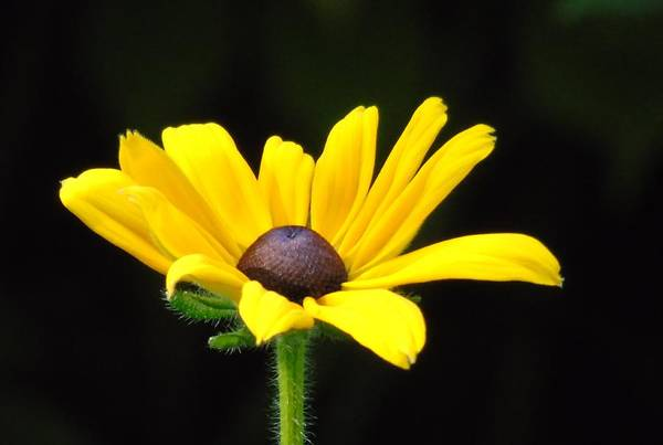 Photograph - Black-eyed Susan by Barbara St Jean