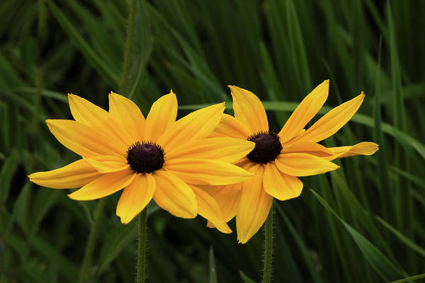 Photograph - Black-eyed Susan Blossoms by David Lunde