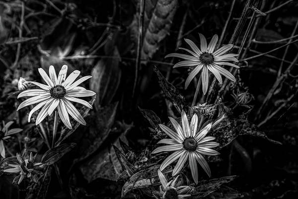 Photograph - Black-eyed Susan by Bob Orsillo