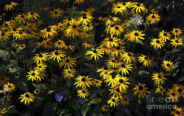 Photograph - Black Eyed Susan Colors by John Rizzuto