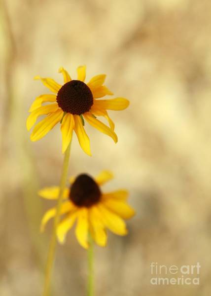 Photograph - Black-eyed Susan Duet by Sabrina L Ryan
