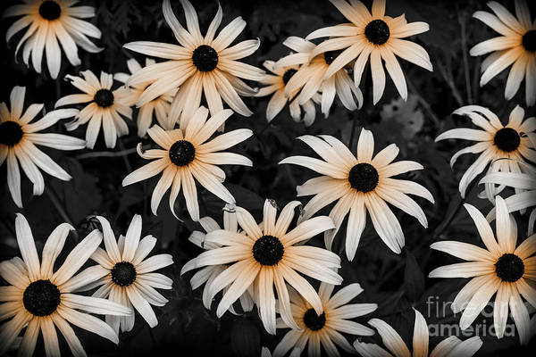 Wall Art - Photograph - Black Eyed Susan by Elena Elisseeva