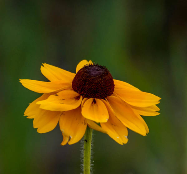 Photograph - Black-eyed Susan Flower Square by Terry DeLuco