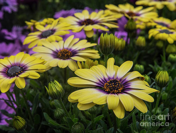 Photograph - Black Eyed Susan Flowers-2215 by Steve Somerville
